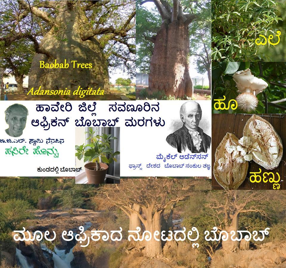 ಉತ್ತರ ಕರ್ನಾಟಕದ ಸವಣೂರಿನ ಆಫ್ರಿಕನ್ ಮರಗಳು. Living marvels of the state Baobab Trees- Adansonia digitata.