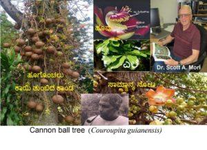 Read more about the article ಕ್ಯಾನನ್ ಬಾಲ್-ಪಿರಂಗಿ ಗುಂಡಿನ- ಮರ: ನಾಗಲಿಂಗ ಪುಷ್ಪ