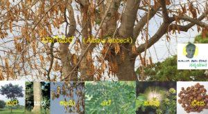 "Read more about the article ರೆಂಬೆ-ಕೊಂಬೆಯ ತುಂಬಾ ಕಾಯಿ ಹೊತ್ತ ""ಬಾಗೆ"" ಮರ"