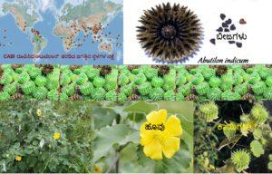 ಸಂಶೋಧನೆಯ ಸರಕಾದ ಹಿತ್ತಿಲ ಗಿಡ: Abutilon indicum