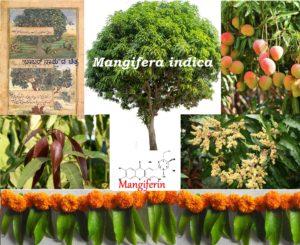 ಉರಿ  ಬಿಸಿಲಿನಲ್ಲಿ  ಪರಿಮಳದ ತಂಪುನ್ನು ಬೀರುವ  ಮಾವು – Mangifera  indica (ಭಾಗ -1)