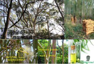 ತನ್ನದಲ್ಲದ ತಪ್ಪಿಗೆ ಪರದೇಶಿ ನೆಲದಲ್ಲಿ ಹೆಸರು ಕೆಡಿಸಿಕೊಂಡ ನೀಲಗಿರಿ- Eucalyptus