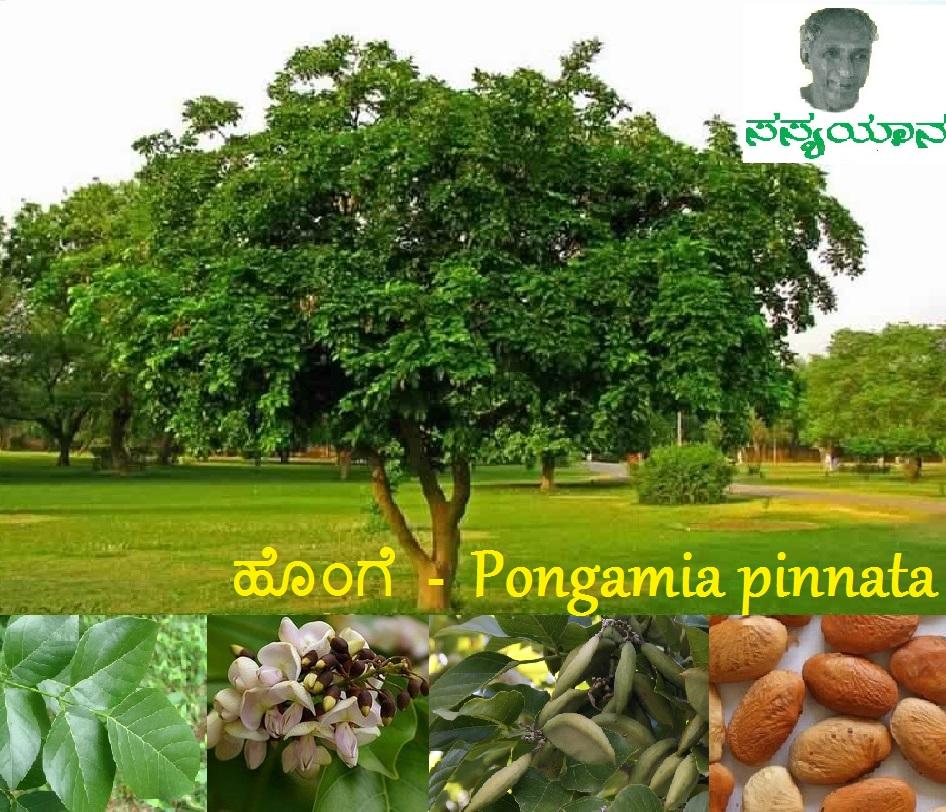 ಉರಿ ಬಿಸಿಲಿಗೆ ಛಾವಣೆಯ ಹರಡಿ ತಂಪನೀವ ಹೊಂಗೆ – Pongamia pinnata