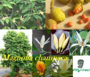 ಹೂಬಿಡುವ ಸಸ್ಯವಿಕಾಸದ ಕಥೆಯನ್ನು ಹೇಳುವ ಸಂಪಿಗೆ – Magnolia champaca