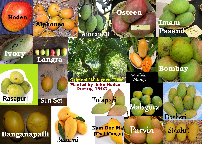 You are currently viewing ತಳಿ ವೈವಿಧ್ಯದ ಮಾವು – Mangifera  indica- (ಭಾಗ -2)