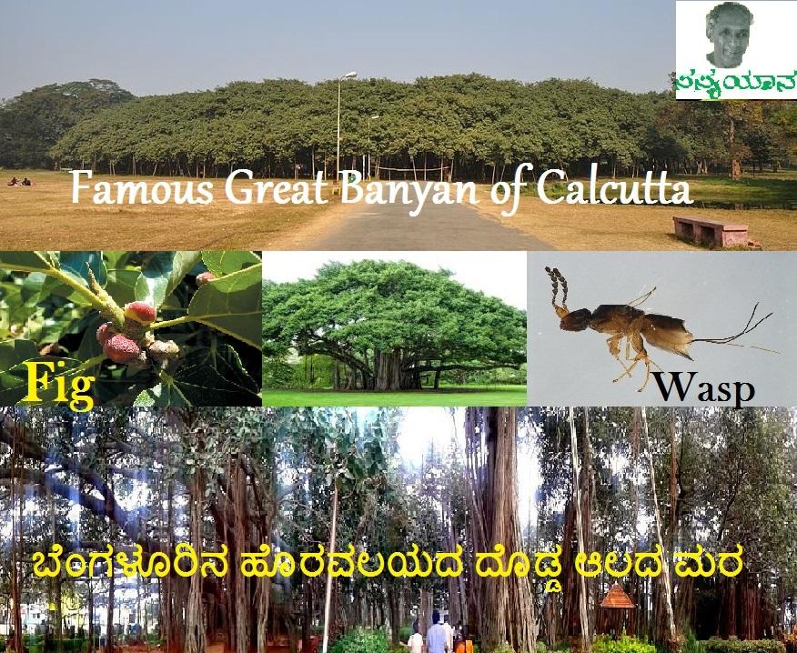 ಸಮಾಜವಾದಕ್ಕೂ ನೆರಳು ಕೊಟ್ಟ ಆಲ – Ficus  benghalensis