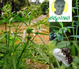 Read more about the article ತುಂಬಾ ಆಕಷ೯ಕವೇನೂ ಅಲ್ಲದ ಗಿಡ: ತುಂಬೆ – Leucas aspera