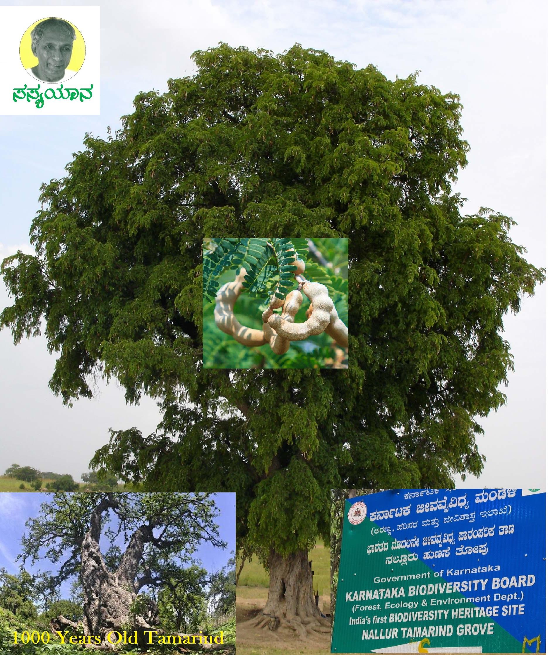ನಮ್ಮ ನಾಲಗೆಯ ರುಚಿಯನ್ನಾಳುವ ಹುಣಸೆ – Tamarindus indica