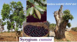 ಬಣ್ಣ ಹಾಗೂ ಹೆಸರೂ ನೇರಳೆ  – Syzygium cumini