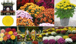 Read more about the article ಹಬ್ಬಗಳ ಸಂಭ್ರಮಕ್ಕೆ ಮೆರುಗು ಕೊಡುವ ಸೇವಂತಿಗೆ : Chrysanthemum indicum