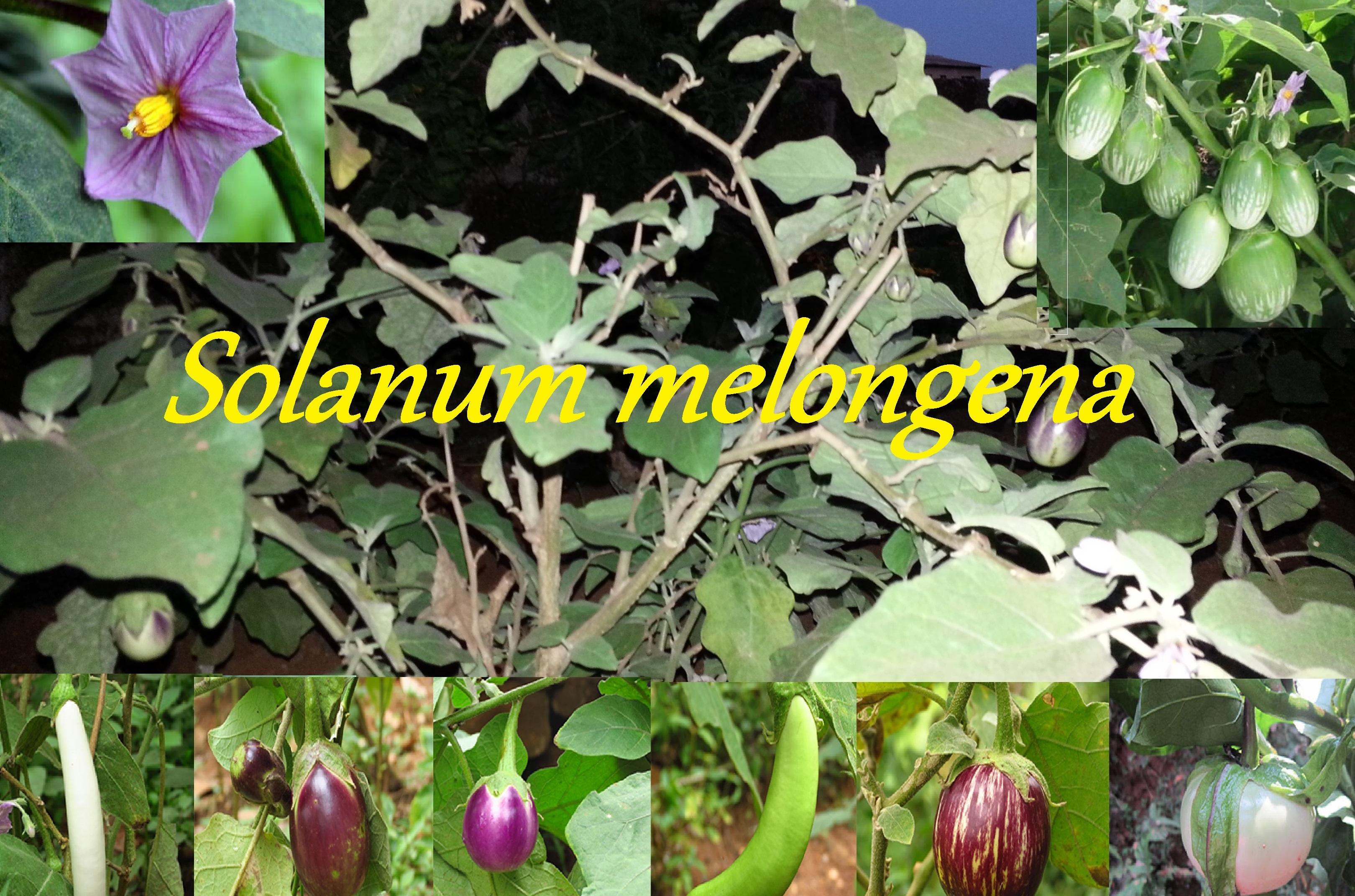 You are currently viewing ಹೇಳೋದು ಆಚಾರ, ತಿನ್ನೋದು ಬದನೆಕಾಯಿ: (Solanum melongena)