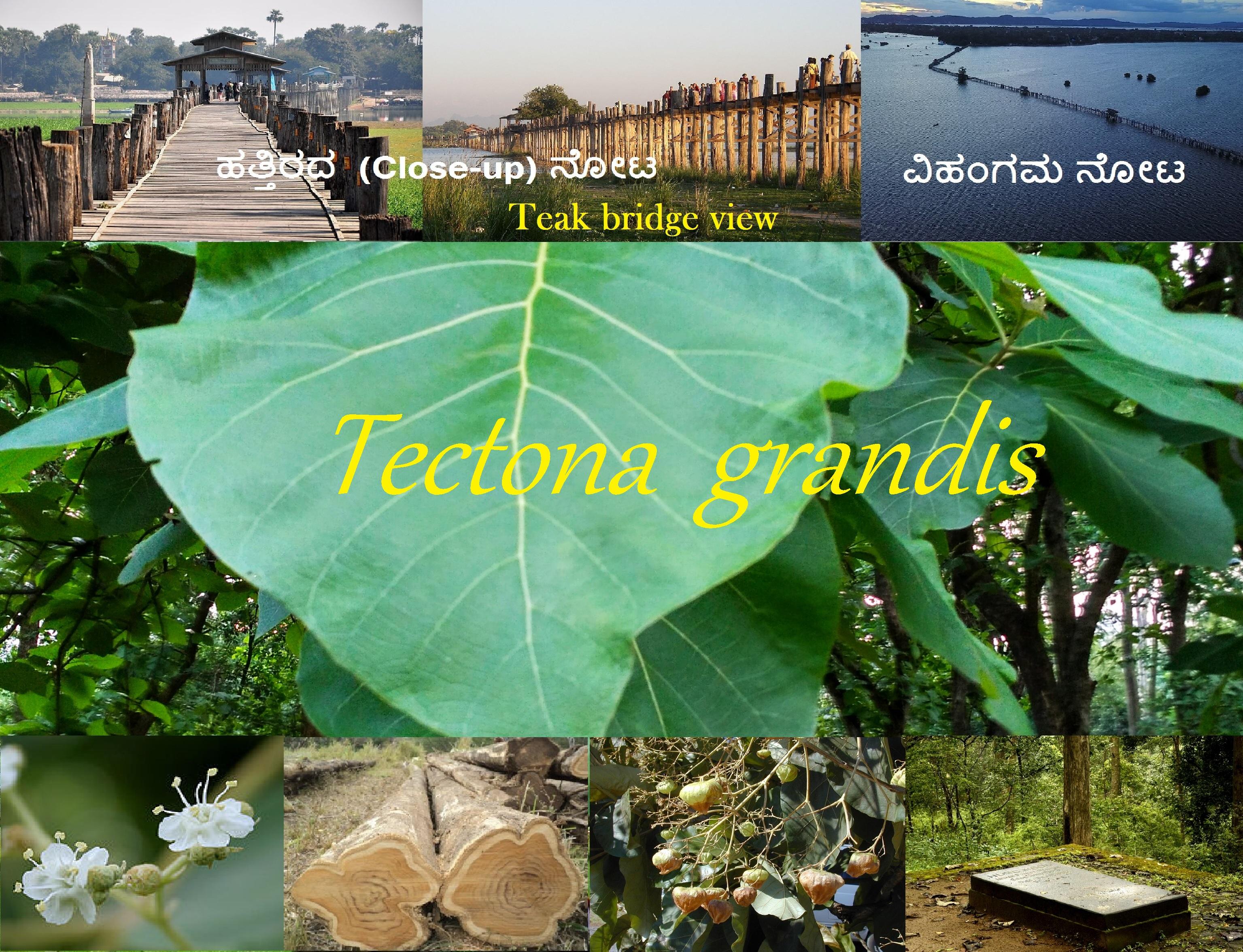 You are currently viewing ಆಧುನಿಕತೆಯ ಹಂಬಲ ಮತ್ತು ಪರಿಸರದ ಜಿಜ್ಞಾಸೆಯನ್ನೂ ಪೋಷಿಸಿದ ತೇಗ : Tectona grandis