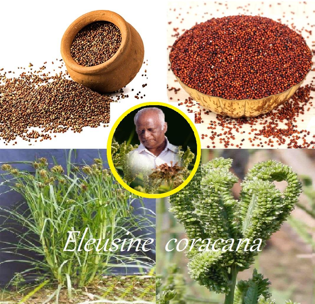 ಬಡವ-ಬಲ್ಲಿದರನು ಒಂದು ಮಾಡಿದ ರಾಗಿ : Eleusine coracana