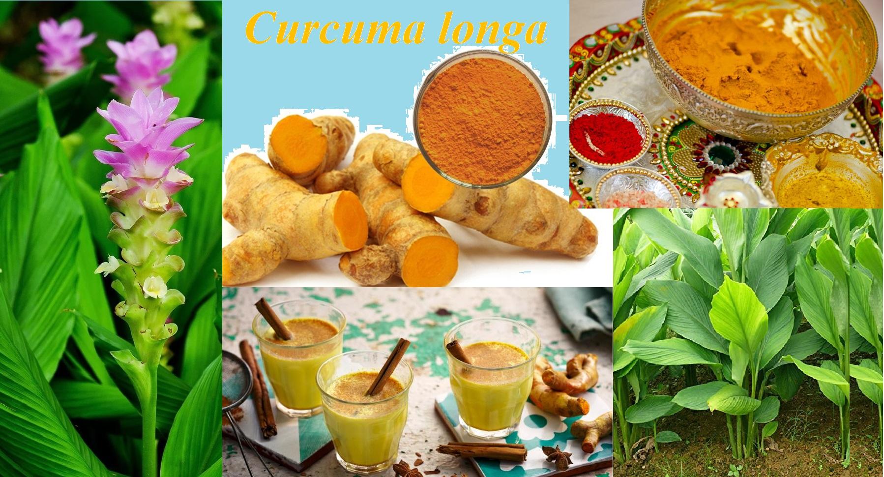 You are currently viewing ಆಹಾರ, ಆರೋಗ್ಯ ಮತ್ತು ಸಂಸ್ಕೃತಿಗೆ ಬಣ್ಣದ ಮೆರುಗು ಕೊಟ್ಟ ಅರಿಸಿನ Curcuma longa