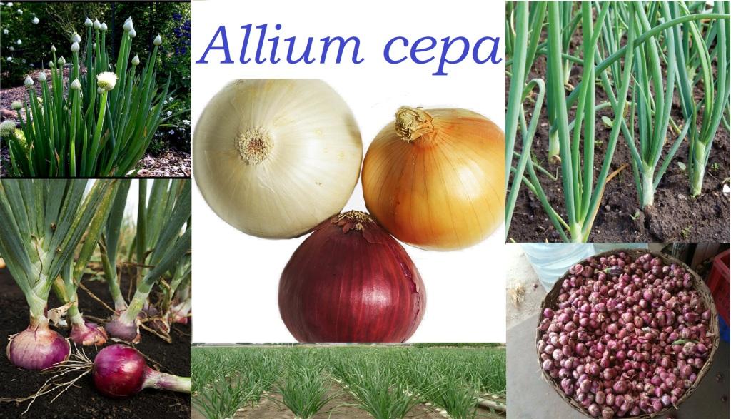 You are currently viewing ತಿನಿಸುಗಳ ತಯಾರಿಯಲ್ಲಿ ತುಸು ಅಳಿಸುವ ಈರುಳ್ಳಿ : Allium cepa