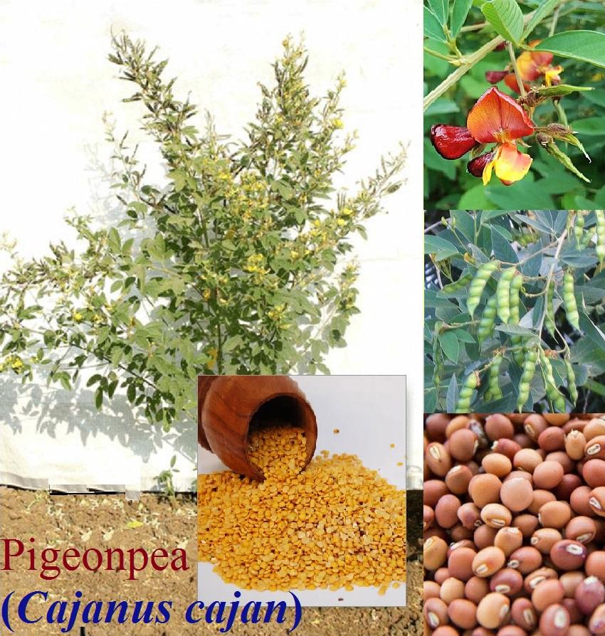 ದಿನ ಬಳಕೆಯ ಬೇಳೆ-ಕಾಳು ತೊಗರಿ : Cajanus cajan