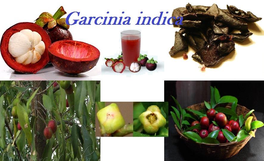 """ಮಲೆನಾಡಿನ ಹುಣಸೆ """"ಪುನರ್ಪುಳಿ-ಮುರುಗಲ – ಕೋಕಂ"""" : Garcinia indica"""