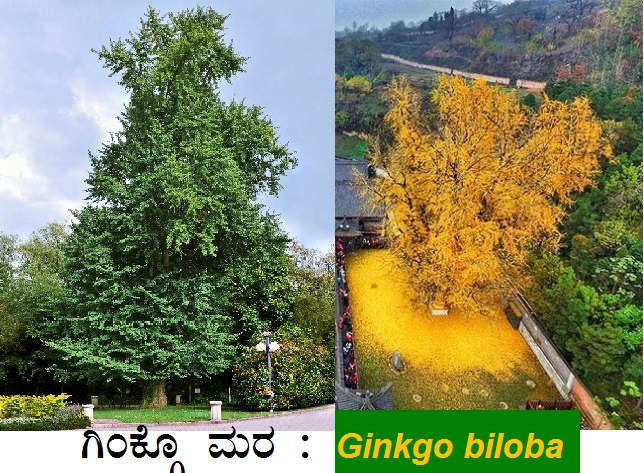 You are currently viewing ಬಂಗಾರದ ಬಣ್ಣದ ನೋಟದಿಂದ ಕಣ್ಸೆಳೆಯುವ ಗಿಂಕ್ಗೊ ಮರ : Ginkgo biloba