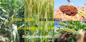 Read more about the article ಮಾನವ ಕುಲವನ್ನು ಹಂತ ಹಂತವಾಗಿ ಆವರಿಸಿಕೊಳ್ಳುತ್ತಿರುವ ಜೋಳ : Sorghum bicolor