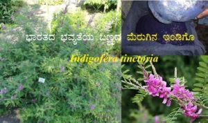 ಭಾರತದ ಭವ್ಯತೆಯ ಬಣ್ಣದ ಮೆರುಗಿನ ಇಂಡಿಗೊ : Indigofera tinctoria
