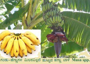 Read more about the article ಗಂಡು-ಹೆಣ್ಣುಗಳ ಮಿಲನವಿಲ್ಲದೆ ಹುಟ್ಟುವ  ಹಣ್ಣು ಬಾಳೆ: Musa spp.
