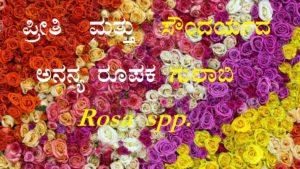 ಪ್ರೀತಿ ಮತ್ತು ಸೌಂದರ್ಯದ ಅನನ್ಯ ರೂಪಕ ಗುಲಾಬಿ : Rosa spp.