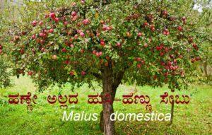ಹಣ್ಣೇ ಅಲ್ಲದ ಹುಸಿ-ಹಣ್ಣು ಸೇಬು : Malus domestica
