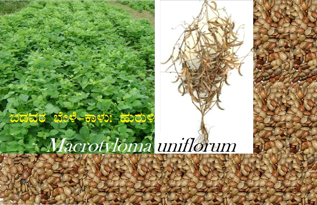 Read more about the article ಬಡವರ ಬೇಳೆ-ಕಾಳು ಹುರುಳಿ :  Macrotyloma uniflorum