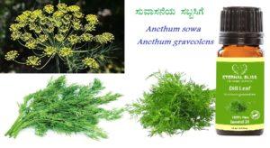 ಸುವಾಸನೆಯ ಸೊಪ್ಪು ಸಬ್ಬಸಿಗೆ Anethum sowa  and  Anethum graveolens