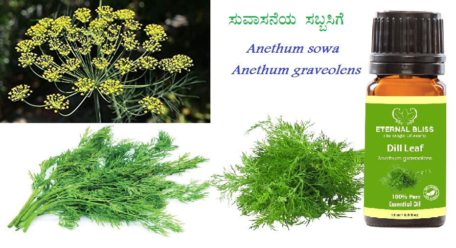 You are currently viewing ಸುವಾಸನೆಯ ಸೊಪ್ಪು ಸಬ್ಬಸಿಗೆ Anethum sowa  and  Anethum graveolens