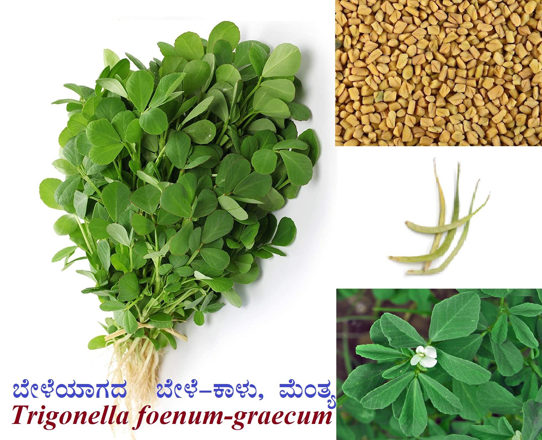 ಬೇಳೆಯಾಗದ ಬೇಳೆ-ಕಾಳು, ಮೆಂತ್ಯ : Trigonella foenum-graecum