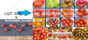 "Read more about the article ಒಲ್ಲದ ಹಣ್ಣು ಆಪ್ತ ತರಕಾರಿಯಾದ ""ಟೊಮ್ಯಾಟೊ""   Solanum lycopesicum (ಭಾಗ-1)"