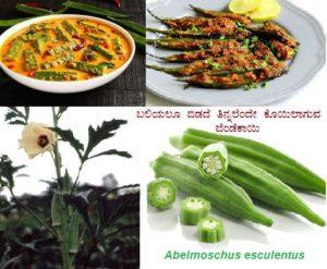 ಬಲಿಯಲೂ ಬಿಡದೆ ತಿನ್ನಲೆಂದೇ ಕೊಯಿಲಾಗುವ ಬೆಂಡೆಕಾಯಿ :Abelmoschus esculentus