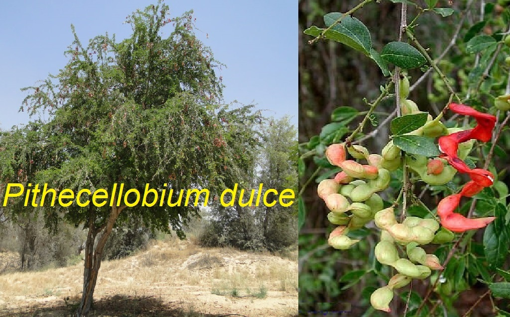 ನಮ್ಮದೇ ಆಗಿರುವ ಬಹುಪಯೋಗಿ ಮರ ಸೀಮೆ ಹುಣಸೆ: Pithecellobium dulce