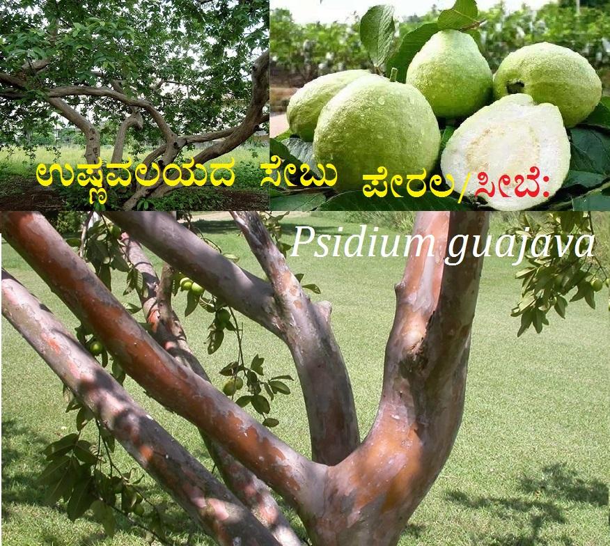 ಉಷ್ಣವಲಯದ ಸೇಬು -ಪೇರಲ/ಸೀಬೆ: Psidium guajava
