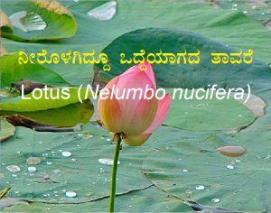 ನೀರೊಳಗಿದ್ದೂ ಒದ್ದೆಯಾಗದ ತಾವರೆ – Lotus (Nelumbo nucifera)