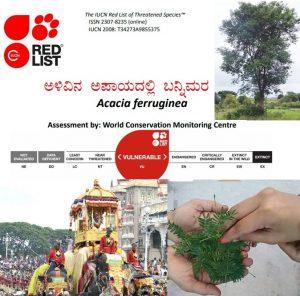 ಅಳಿವಿನ ಅಪಾಯದಲ್ಲಿರುವ ಬನ್ನಿಮರ: Acacia ferruginea