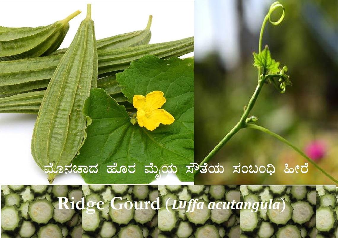ಮೊನಚಾದ ಹೊರ ಮೈಯ ಸೌತೆಯ ಸಂಬಂಧಿ ಹೀರೆ  Ridge Gourd (Luffa acutangula)