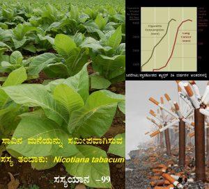 Read more about the article ಸಾವಿನ ಮನೆಯನ್ನು ಸಮೀಪವಾಗಿಸುವ ಸಸ್ಯ ತಂಬಾಕು: Nicotiana tabacum