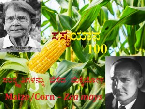 Read more about the article ಸಂಸ್ಕೃತಿಗಳನ್ನು ಬೆಸೆದ ಮೆಕ್ಕೆಜೋಳ : Maize/Corn – Zea mays