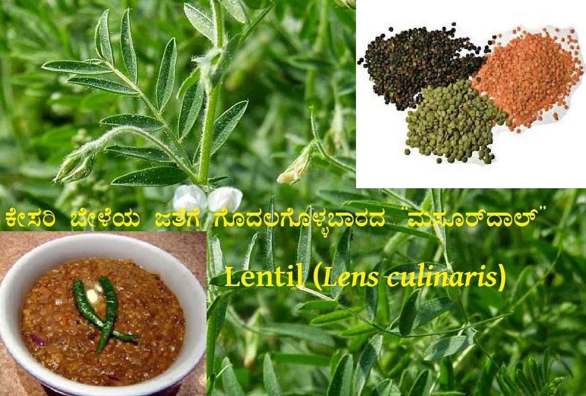 "Read more about the article ಕೇಸರಿ ಬೇಳೆಯ ಜತೆಗೆ ಗೊಂದಲಗೊಳ್ಳಬಾರದ ""ಮಸೂರ್ ದಾಲ್"" : Lentil (Lens culinaris)"