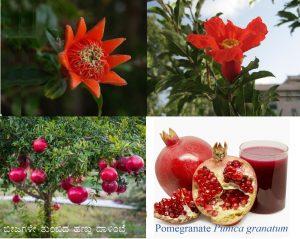 ಬೀಜಗಳೇ ತುಂಬಿದ ಹಣ್ಣು ದಾಳಿಂಬೆ : Pomegranate Punica granatum