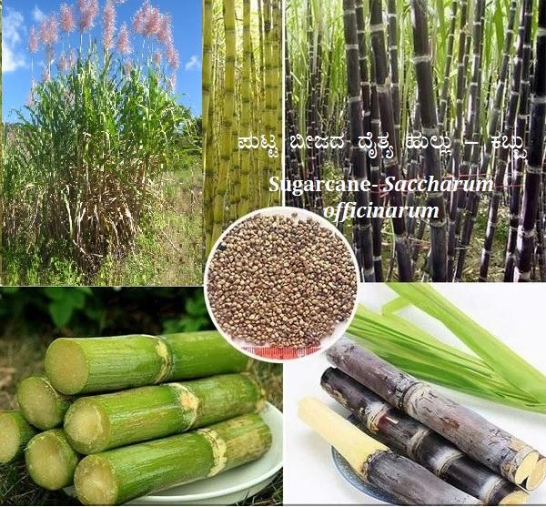 You are currently viewing ಪುಟ್ಟ ಬೀಜದ ದೈತ್ಯ ಹುಲ್ಲು – ಕಬ್ಬು : Sugarcane- Saccharum officinarum
