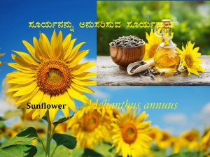 Read more about the article ಸೂರ್ಯನನ್ನು ಅನುಸರಿಸುವ ಸೂರ್ಯಕಾಂತಿ: Sunflower- Helianthus annuus