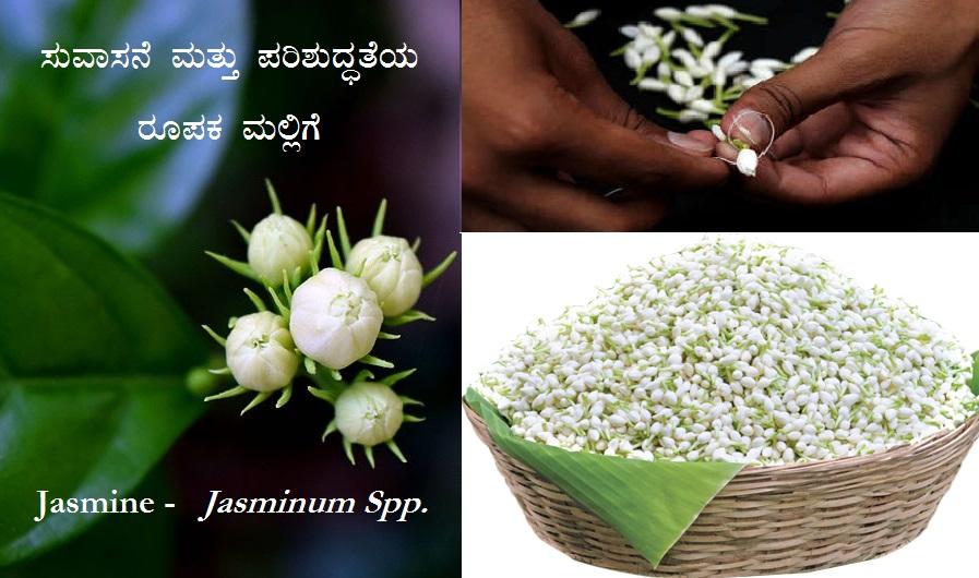 ಸುವಾಸನೆ ಮತ್ತು ಪರಿಶುದ್ಧತೆಯ ರೂಪಕ ಮಲ್ಲಿಗೆ – Jasmine : Jasminum Spp.