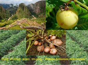 Read more about the article ಹೊಟ್ಟೆ ತುಂಬಿಸುವ ತರಕಾರಿ ಆಲೂಗಡ್ಡೆ- Potato Solanum tuberosum